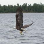 Eagle-and-Walleye-4